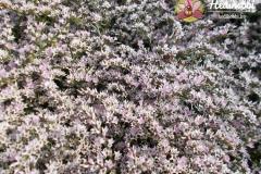 Sóvirág közelről