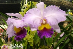 Orchidea kiállítás 2011.
