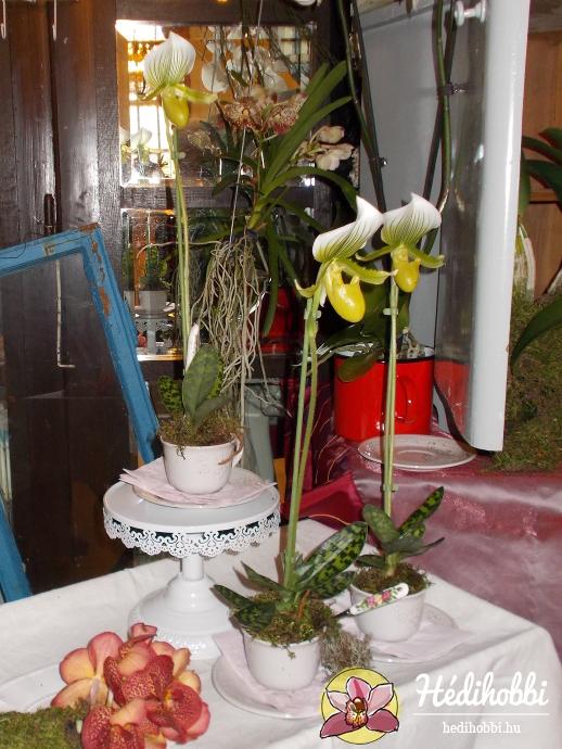 Paphiopedilum maudiae orchideák