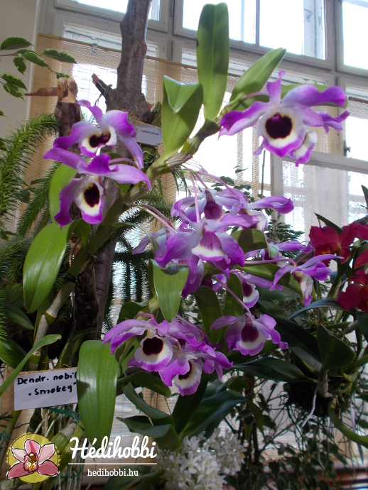 Dendrobium nobile \'Smokey\'