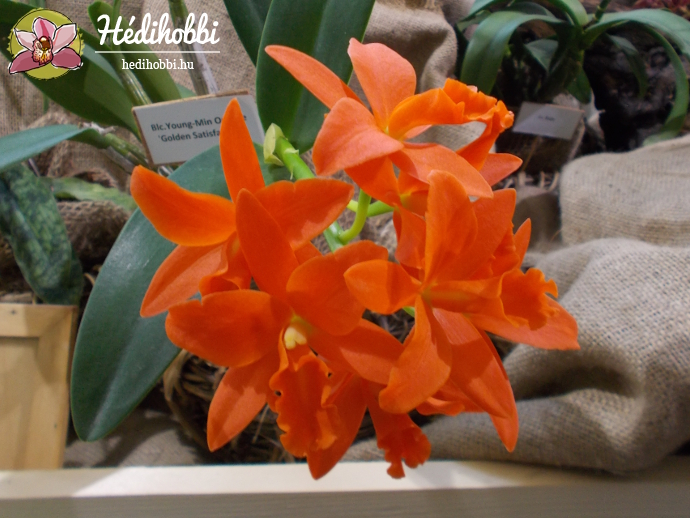 Blc. Young Min Orange \'Golden Satisfaction\'