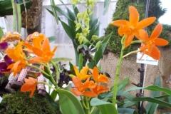 Rhyncattleanthe Young-min Orange \'Golden Satisfaction\'