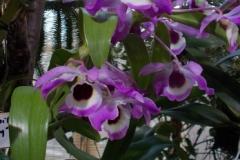 Dendrobium nobile 'Smokey'