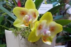 Phalaenopsis hibrid